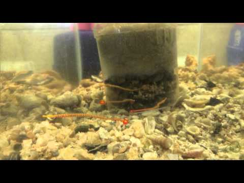 # 1820 Feeding The Red Many Banded Pipefish Carls Aquarium