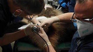 شاهد: تلقيح اصطناعي لدبّي باندا في حديقة حيوانات فرنسية…