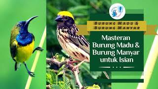 Download DUEL BURUNG MADU VS MANYAR