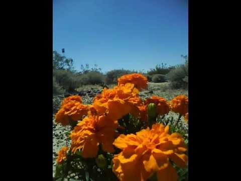 USA California Mojave National Preserve April 18 2015 Open with Annuals 3