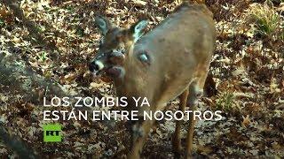 Ciervos 'zombis': ¿Un peligro para los humanos?