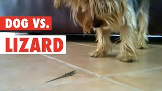 Dog vs Lizard: First Encounter