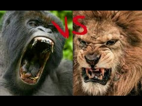 gorila vs lion who will win !!!!!!!!