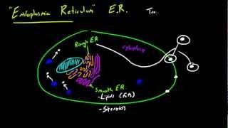Biology Lecture - 22 - Endoplasmic Reticulum
