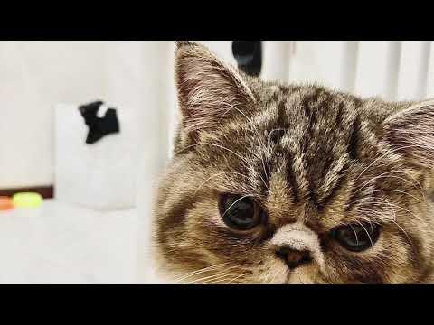 """""""PUMA"""" Exotic Short Hair Cat"""