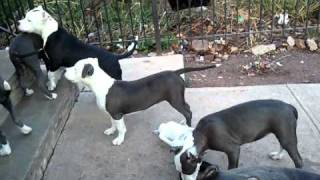"BLUE NOSE PITBULL PUPPIES ""GIMME THAT TOY"""