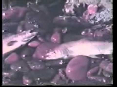 1974 Trout Caught Below Nepean Weir Penrith.wmv