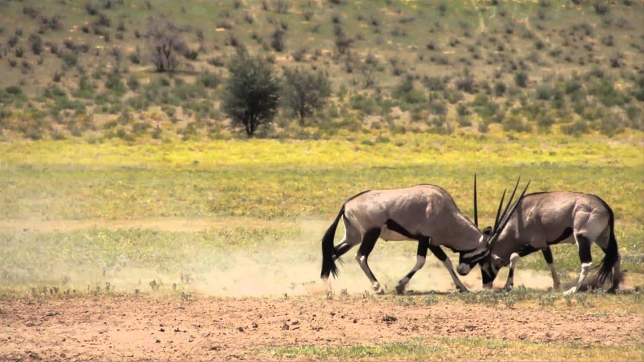 Gemsbok (Oryx) Fighting.(Slow Motion) Kalahari, South ...