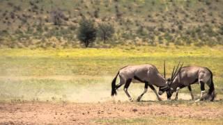 Gemsbok (Oryx) Fighting.(Slow Motion) Kalahari, South Africa