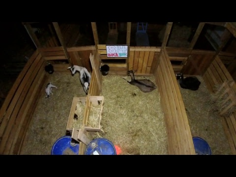 LIVE Goat Cam - 8 Kids and Counting!