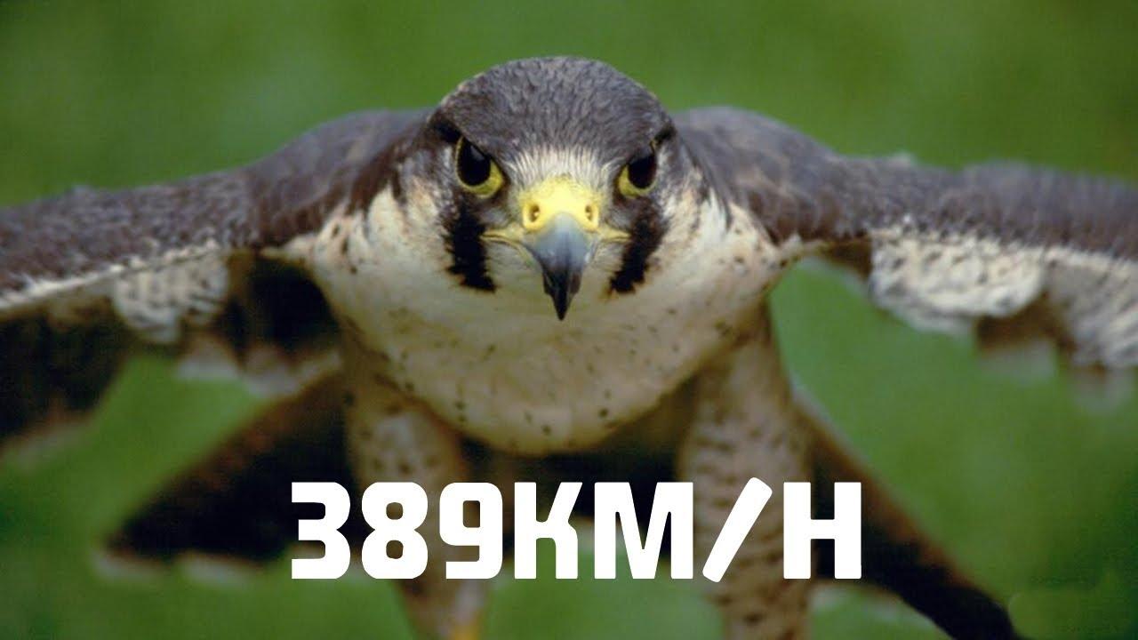O ANIMAL VOADOR MAIS RÁPIDO DO MUNDO: 389KM por HORA