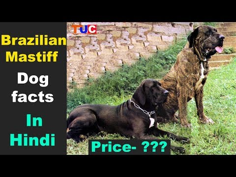 Brazilian Mastiff Dog facts In Hindi : Most Popular Dog Breeds : TUC
