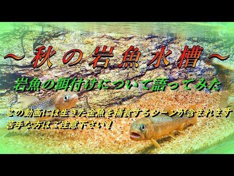 秋の岩魚水槽~岩魚の餌付けについて~