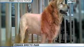 В Китайском зоопарке африканского льва заменили собакой
