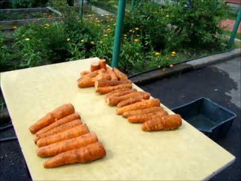 Как сохранить морковь в опилках