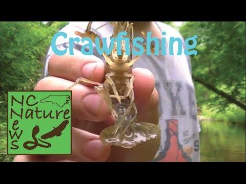 Crawfishing   NC Nature News