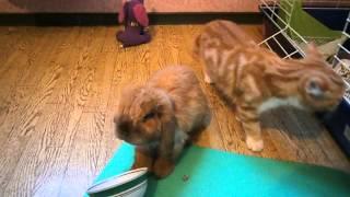 кошка и кролик. знакомство.