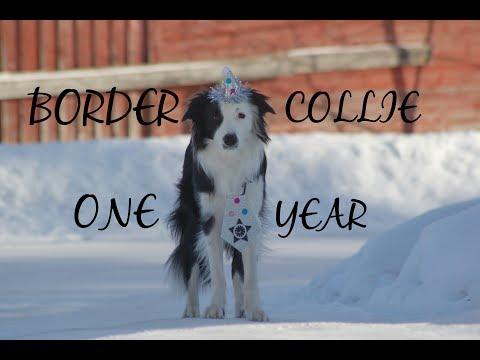 BORDER COLLIE KODA - One year!