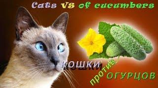 Кошки против огурцов / Cats vs of cucumbers(Владельцы кошек обнаружили у животных странную реакцию на свежий огурец. Речь не идет о пищевых предпочтен..., 2015-11-13T20:53:29.000Z)