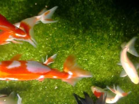 Wakin goldfische 5 cm in premium quallit t doovi for Fressen goldorfen