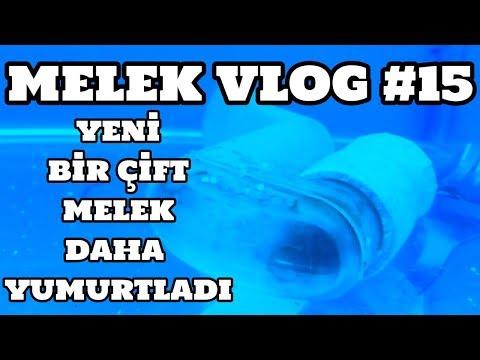 Melek Vlog #15 (Yeni Bir Çift Melek Daha Yumurtladı)