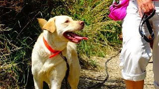 Meg - Labrador - 3 Week Residential Dog Training With Adolescent Dogs