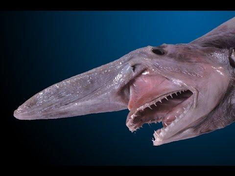O alien das profundezas: Raro tubarão-duende é capturado na costa da Austrália