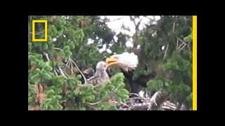 Usually Enemies, Bald Eagles Adopt Red-Tailed Hawk Chick | National Geographic thumbnail