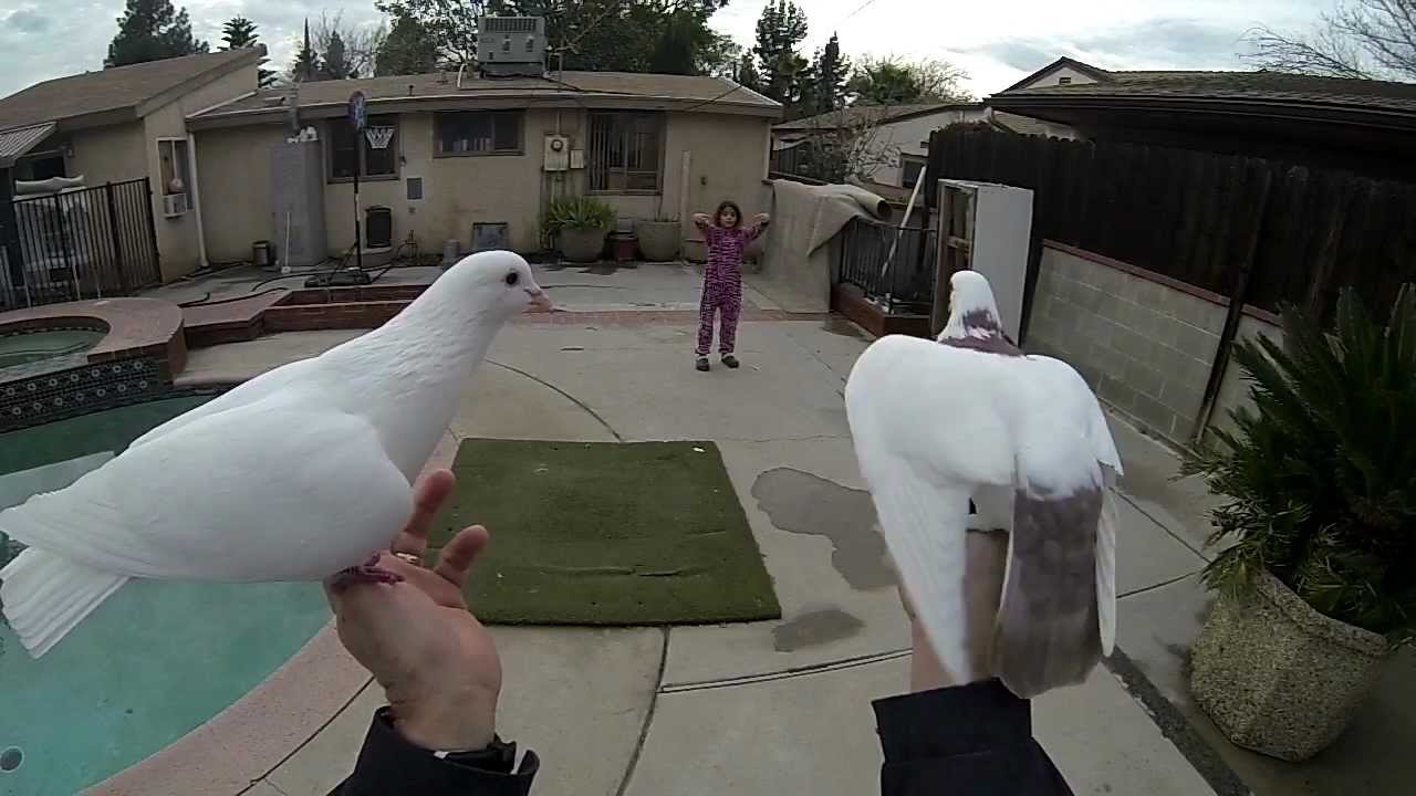 Trained Pigeons Youtube