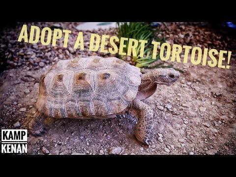DESERT TORTOISE Adoption Info!
