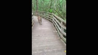 Crazy Florida Panther Encounter!