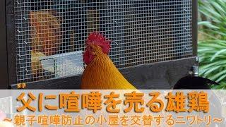 """2017年4月下旬。雄鶏小屋に入居してから2週間、雄鶏""""ぴよ助""""と""""夏""""の様..."""
