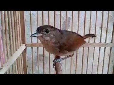 Burung Flamboyan Gacor Ngebren Rapat