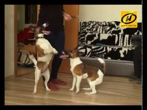 Фокстерьер - суперэнергичная собака, особенности и советы по уходу