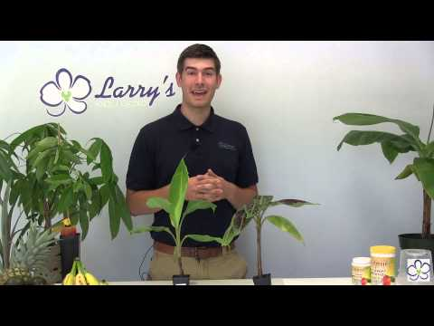 how-to-grow-bananas-at-home---complete-growing-guide