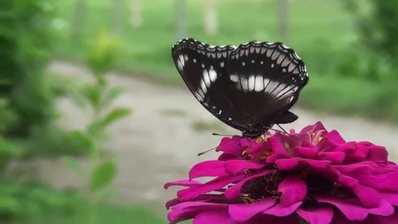 Beautiful Butterfly Video 30