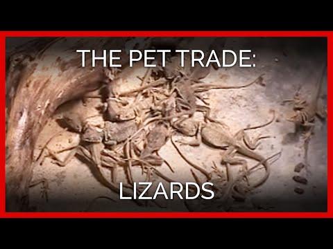 The Pet Trade: Lizards