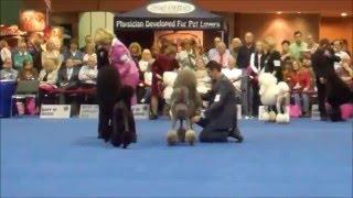 Akc/eukanuba National Championship 2011: Standard Poodles