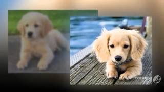Miniature Golden Retriever Dog Breed