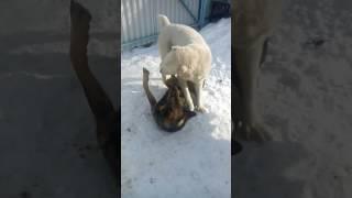 Алабай борется  с овчаркой