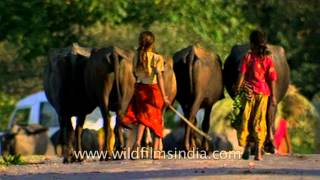 Girls herding livestock and cattle in rural Uttar Pradesh