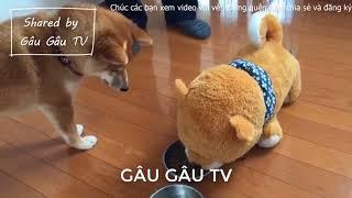 Chó shiba hài hước và đáng yêu #1 | Funny and Cute shiba #1 Gâu Gâu TV