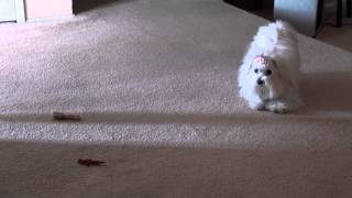 Cute Maltese Puppy Dog Playing With Her Food Before Eating It