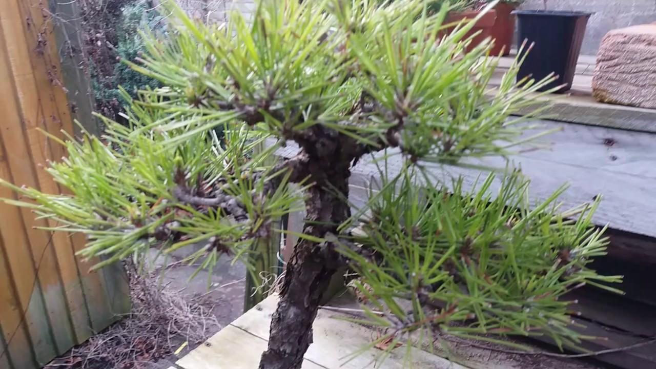 Japanese black pine bonsai - YouTube