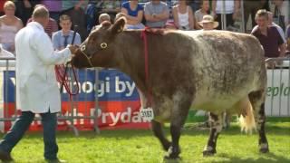 Pencampwriaeth y Gwartheg Biff - Rhan 2 | Beef Cattle Championship - Part 2