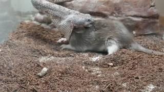 Live Speckled Rattlesnake feeding (Crotalus Mitchellii). DON T BLINK!