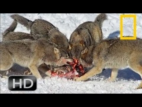 National Geographic Wild 2015 Wolf Attack in Yellowstone | Animals Attack Willdife Documen