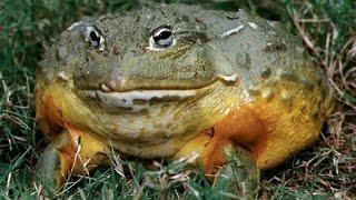 Все обо всем - Какой звук издает самая большая лягушка в мире?