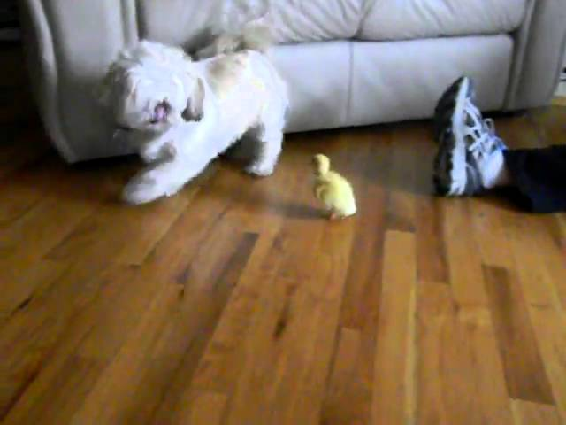 Dog scared of baby duck - Clip.FAIL