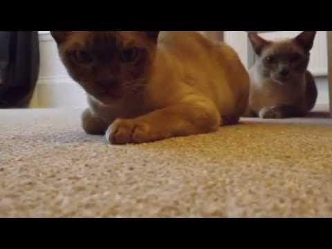 Indy and Sam - Our Burmese Cats